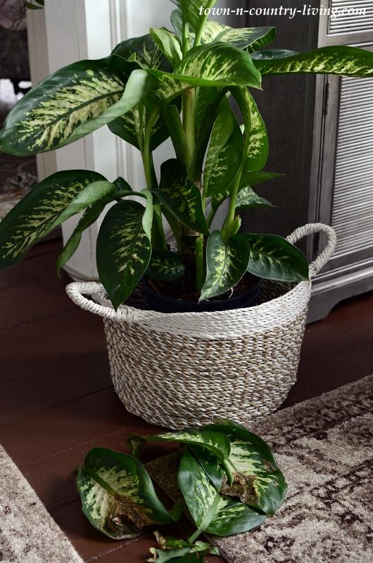 Healthy Dieffenbachia Plant