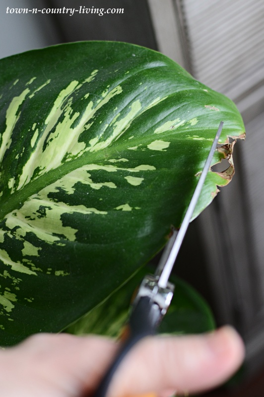 Leaf Burn on Dieffenbachia