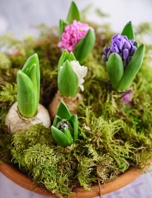 How to Force Hyacinth Bulbs Indoors