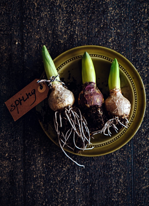 Spring Bulbs for Forcing Indoors