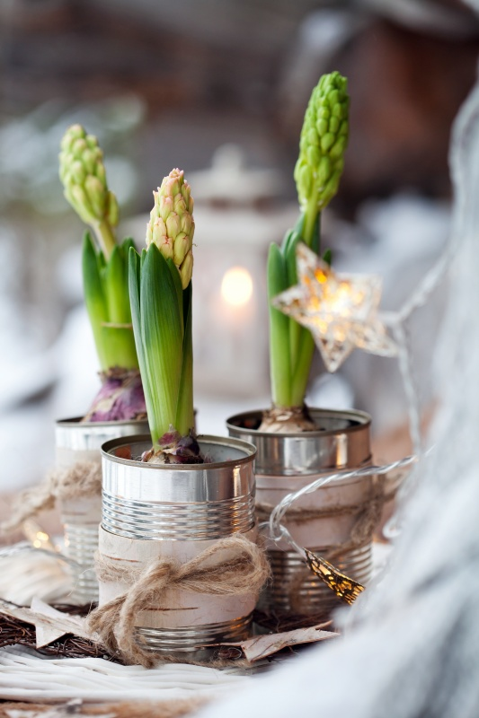 Hyacinth Bulbs Potted in Recycled Aluminum Cans