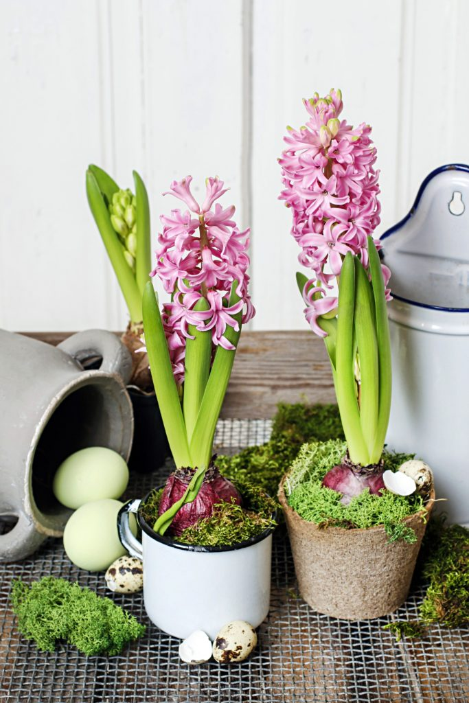 Potted Pink Hyacinths for Indoors