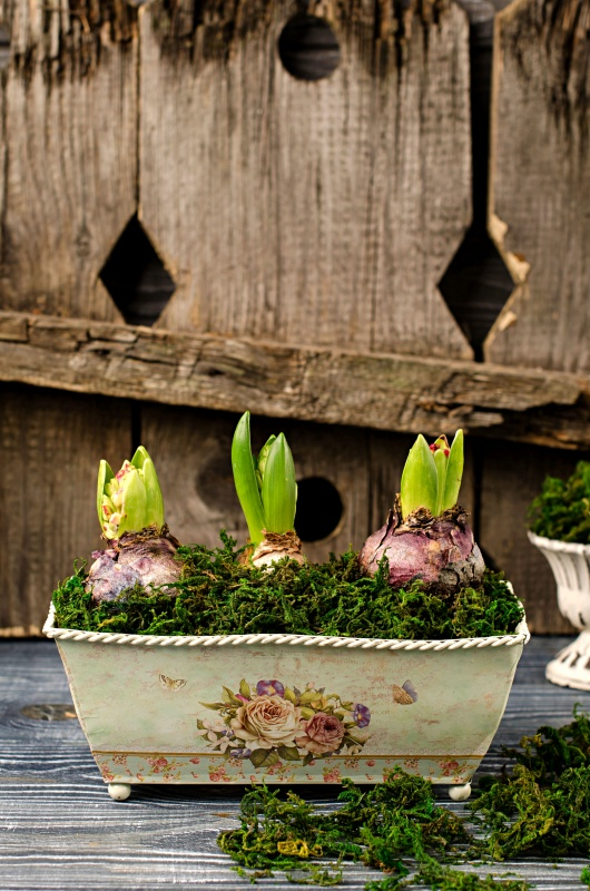 Spring Bulbs in a Vintage Garden Tin
