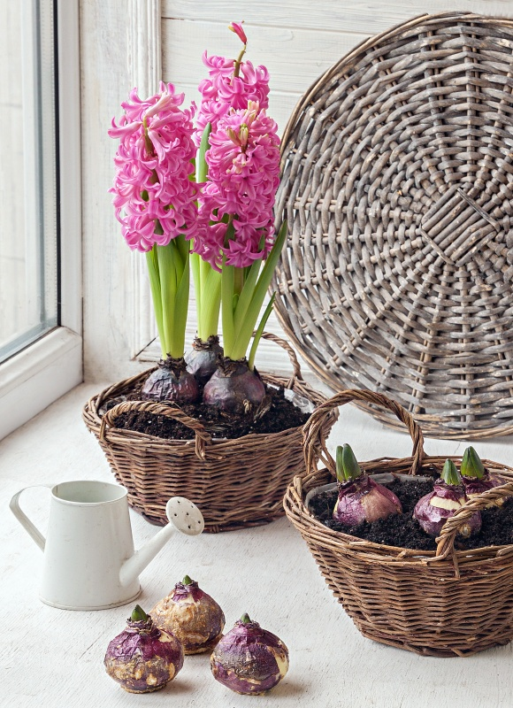 Pink Hyacinths Potted in Baskets