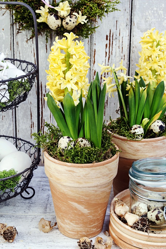 Yellow Potted Hyacinths for an Easter Table Setting