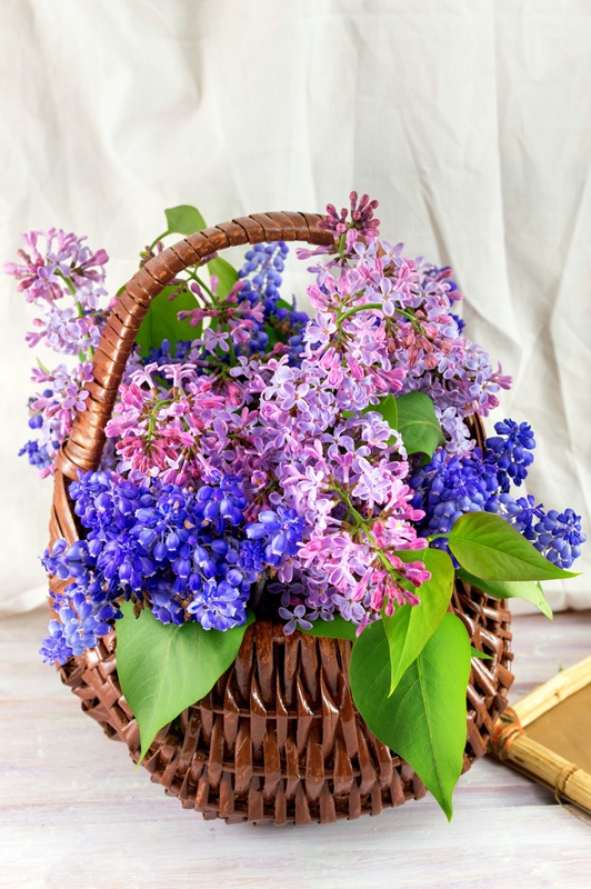 Lilac flowers in a wicker basket. Spring time