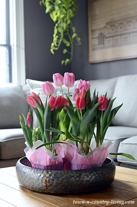 Bunch of Potted Pink Tulips on Family Room Coffee Table