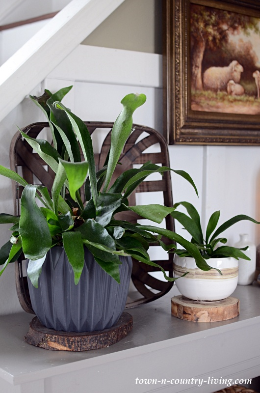A Pair of Easy-to-Grow Staghorn Ferns