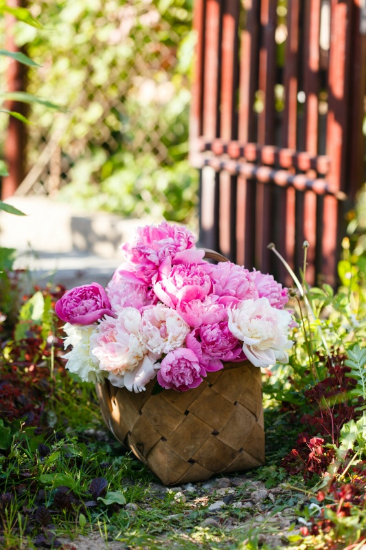 Basket of Pink Peonies by Cottage Garden Gate