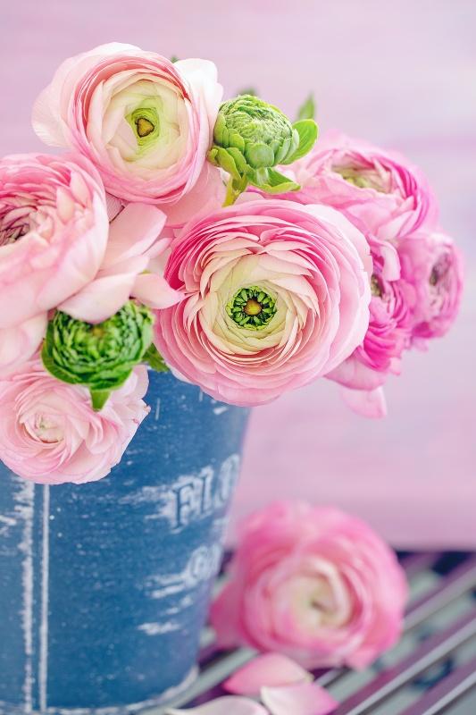 Pink Ranunculus om Blue Garden Pot