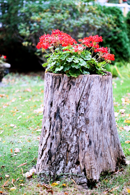 Red Geraniums Planted in Tree Stump