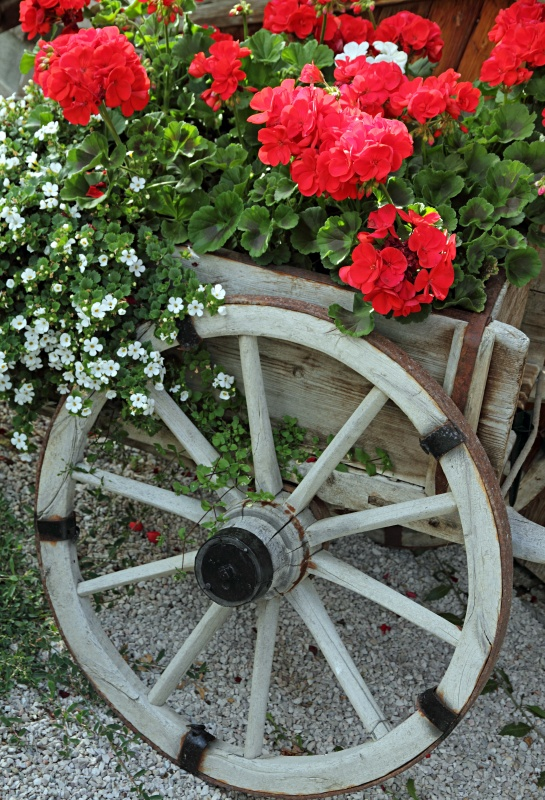 Red Geraniums in Vintage Wood Wagon