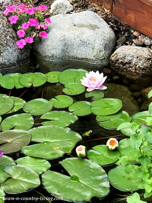Pink Waterlilies in a Koi Pond