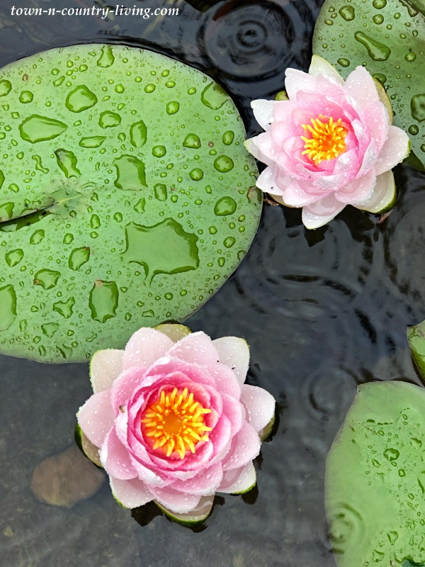 Madame Wilfron Gonnere Pink Water Lily in the Rain