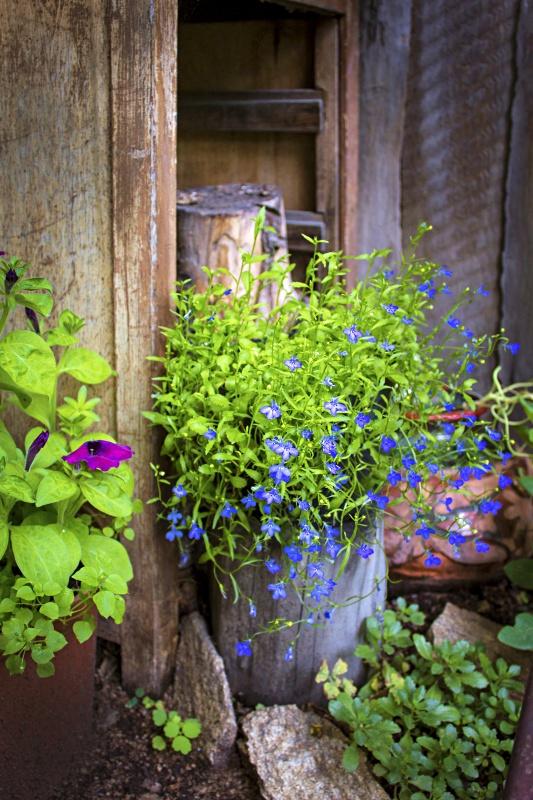Lobelia Container Flower Garden