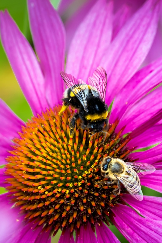Bumble bee and honeybee on purple coneflower