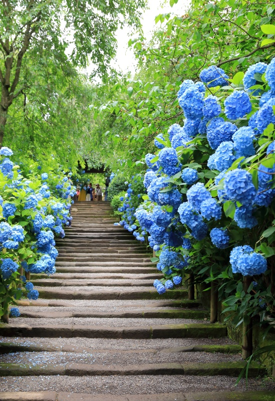 Blue Hydrangea - favorite shade perennials for the garden
