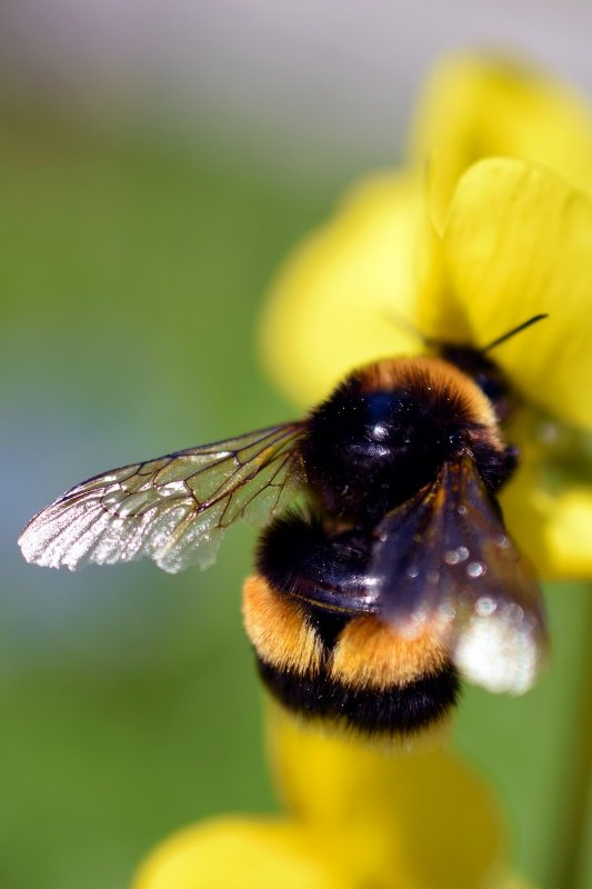 Bee-Friendly Flowers for Your Garden
