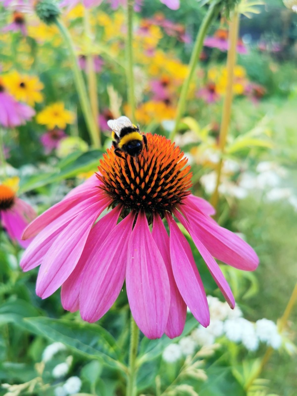 Coneflower or Echinacea