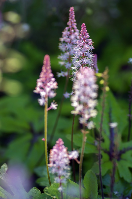 Tiarella Pink Skyrocket ornamental garden flower in bloom, pink white flowering plant, group of small flowers on one stem