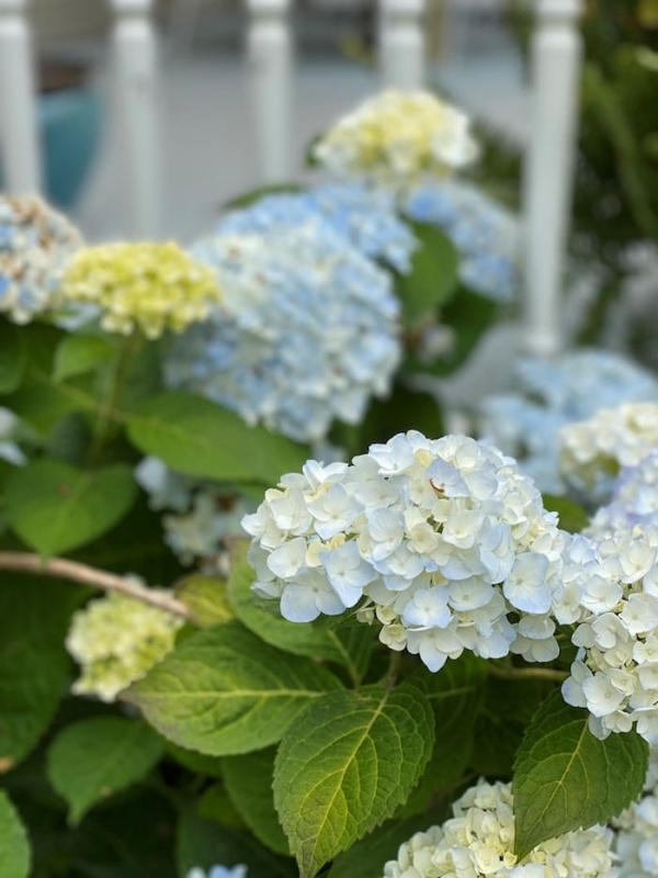 Hydrangea Garden Tour by Sand and Sisal