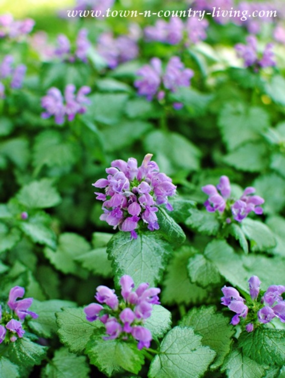 Purple Lamium or Dead Nettle - ground cover