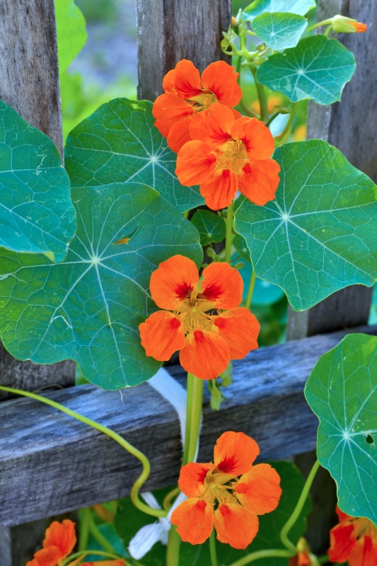 Beautiful flowers Nasturtium plants in the garden. Bright flowers in summer.