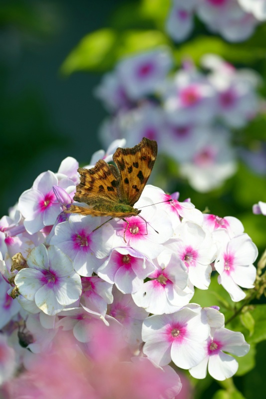 Butterfly perched on phlox flower