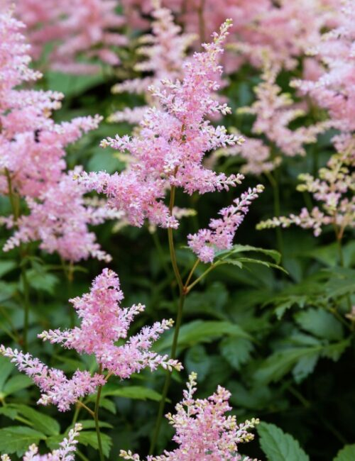 Pink Astilbe or False Goat's Beard for a Shade Garden