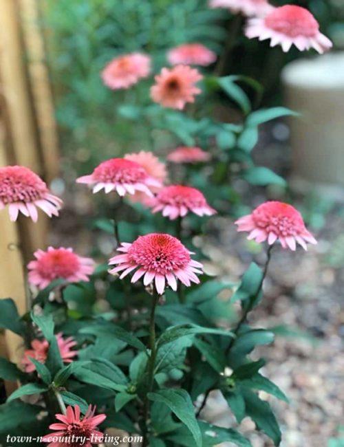 Strawberry Cream Cone Flowers - Pretty in Pink
