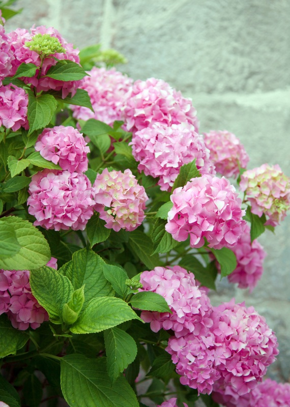 Bushes of hydrangea are pink, purple. Flowers are blooming in spring and summer in town street garden.
