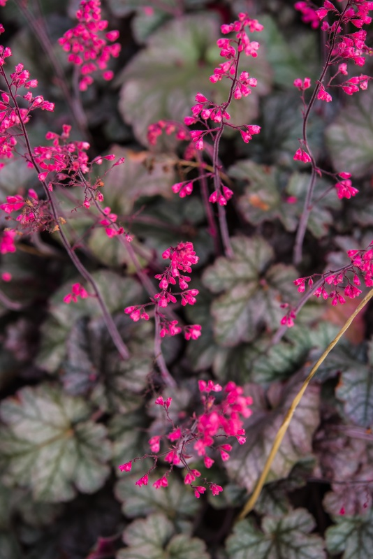 Pink Heuchera blooming in summer garden - shade perennials