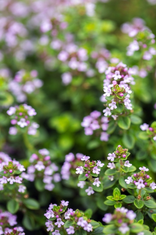 Spring flowering of thyme, close-up. Seasoning and herbs