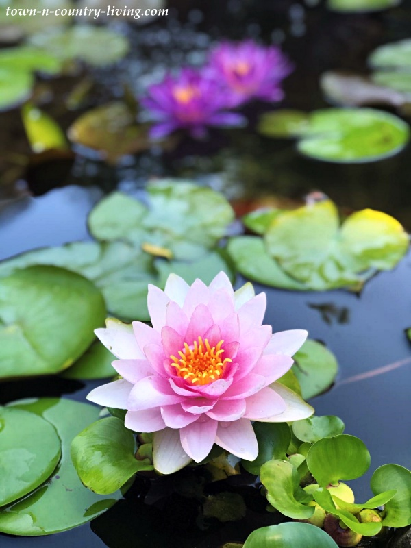 Pink and Purple Hardy Water Lilies in Garden Pond