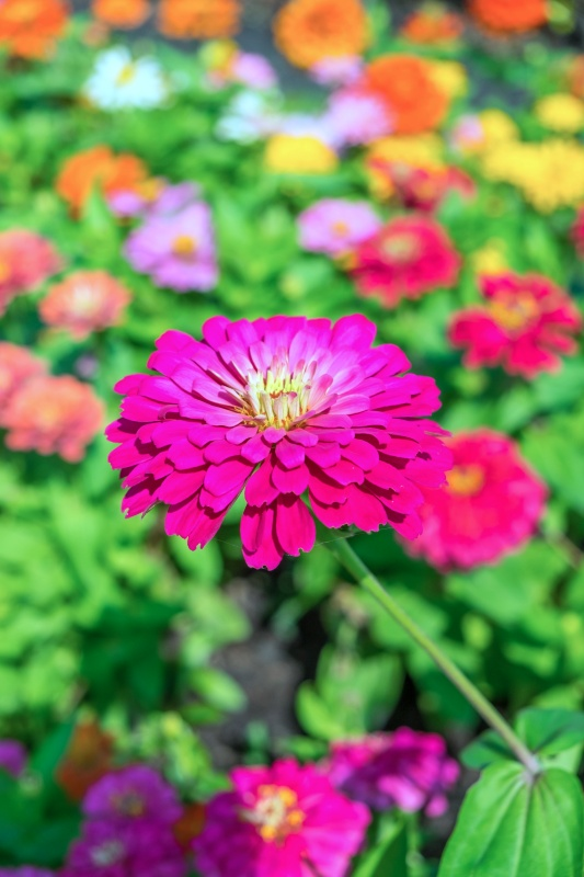 Colorful zinnia bee-friendly flowersflowers for