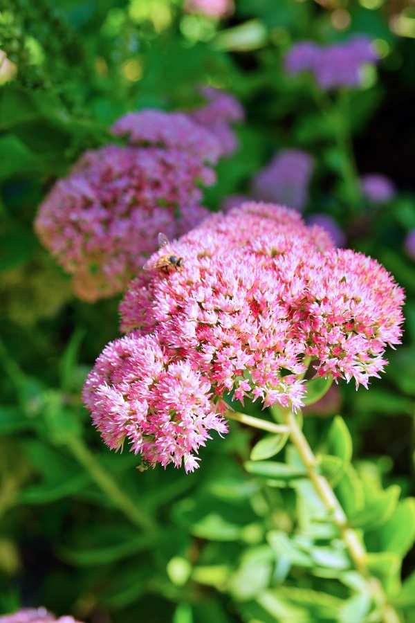 "Pink blooms of sedum ""autumn joy"" flowers in the fall"