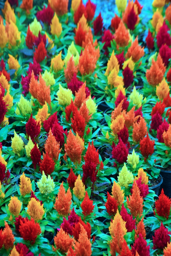 Gorgeous Sea of Celosia Flowers in the Garden