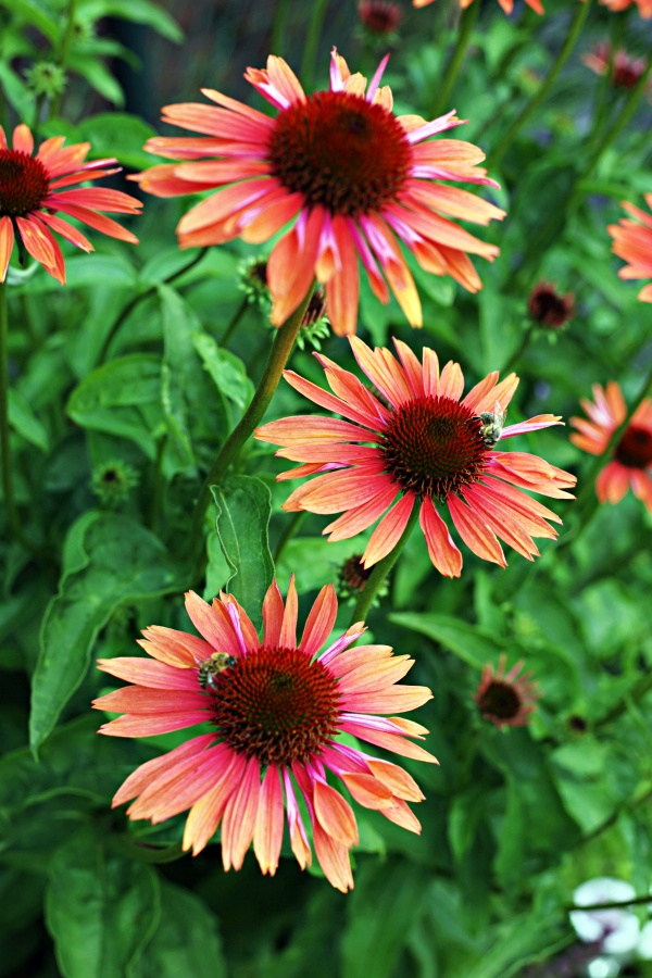 Coneflowers or Echinacea for a Late Summer and Early Fall Garden