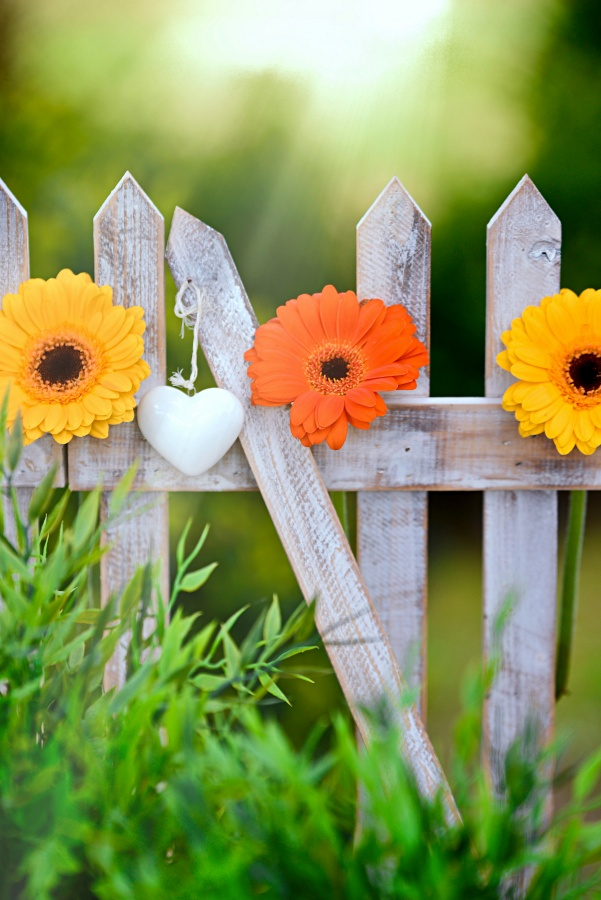 Orange and Yellow Gerbera Daisies on a Picket Fence
