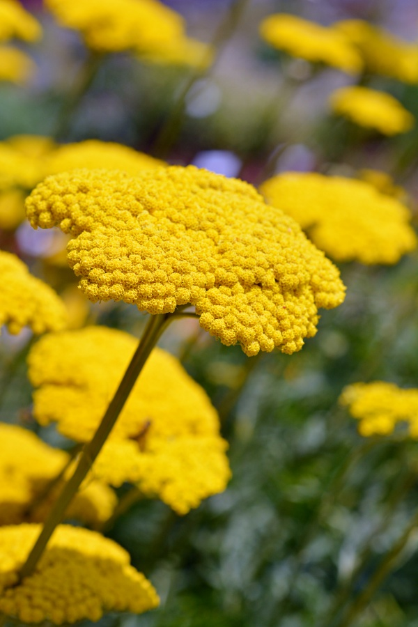 Close up of a gold plate yarrow flowers - Latin name achillea filipendulina 'Gold plate'