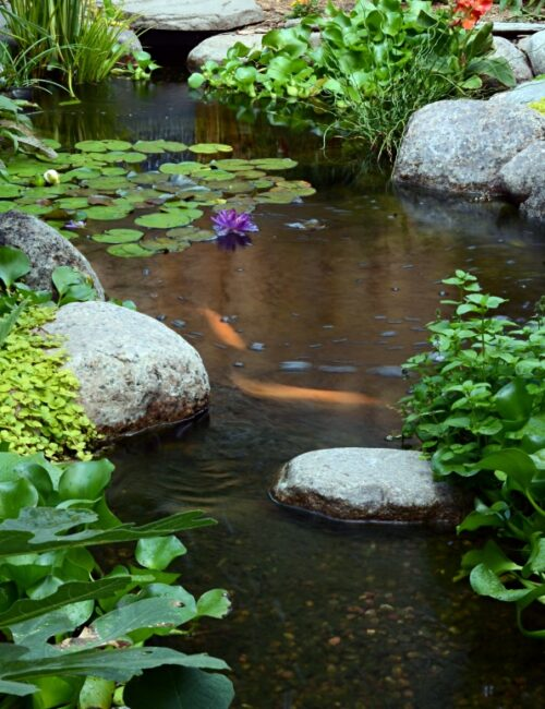 Backyard Koi Pond in the Summer