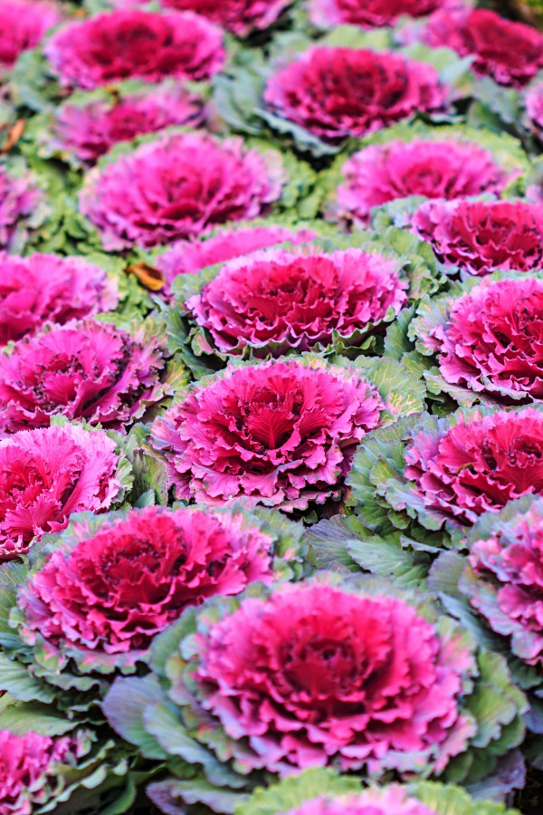 Decorative purple cabbage or kale