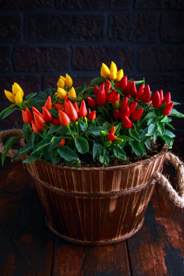 Basket of colorful ornamental peppers for fall decorating
