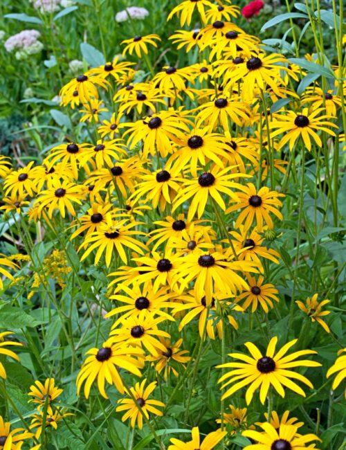 Rudbeckia - Late Summer and Early Fall Perennial