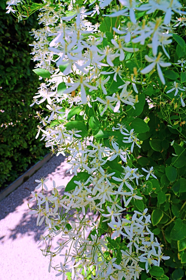 Small white flowers of Sweet Autumn Clematis Terniflora on the vine