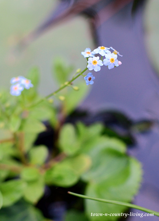 Water Forget-Me-Nots in a Backyard Koi Pond