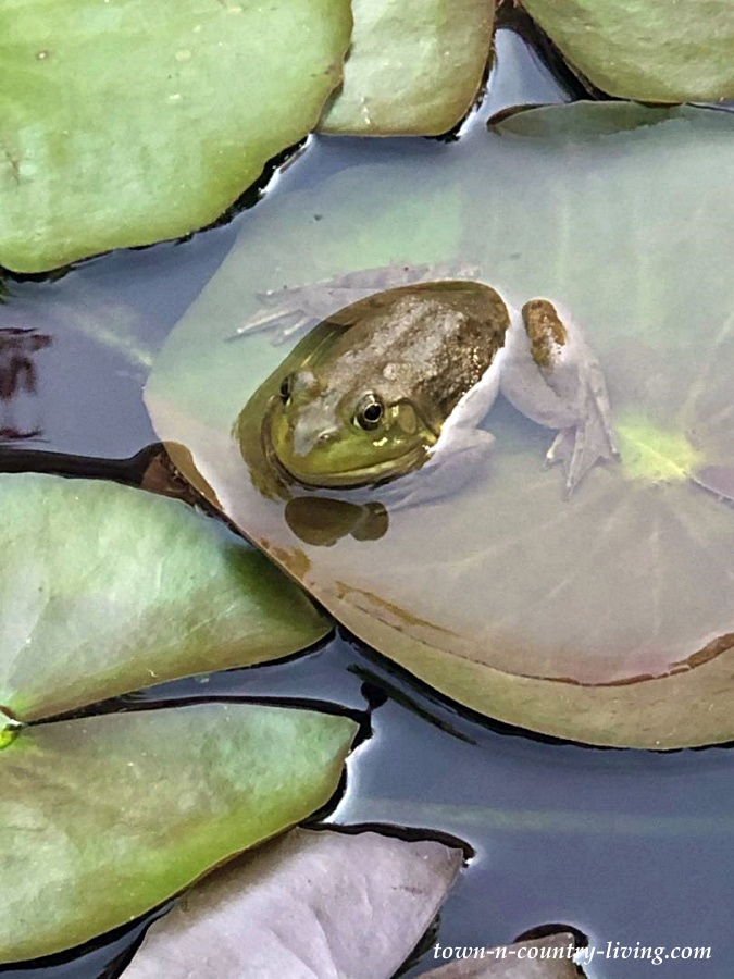 Frog on Lilypad in Koi Pond