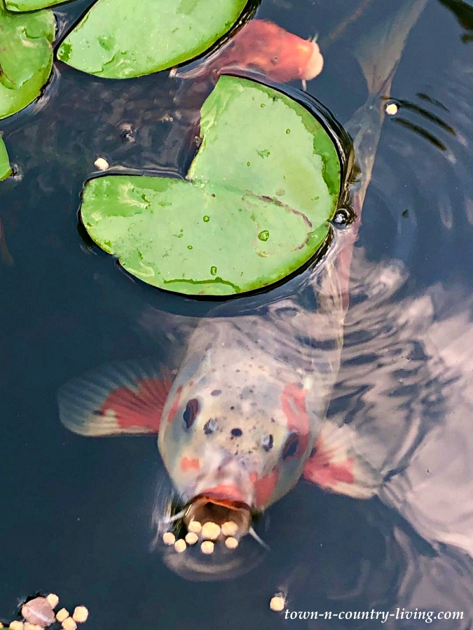 Shusui Koi in Backyard Garden Pond Eating Fish Food