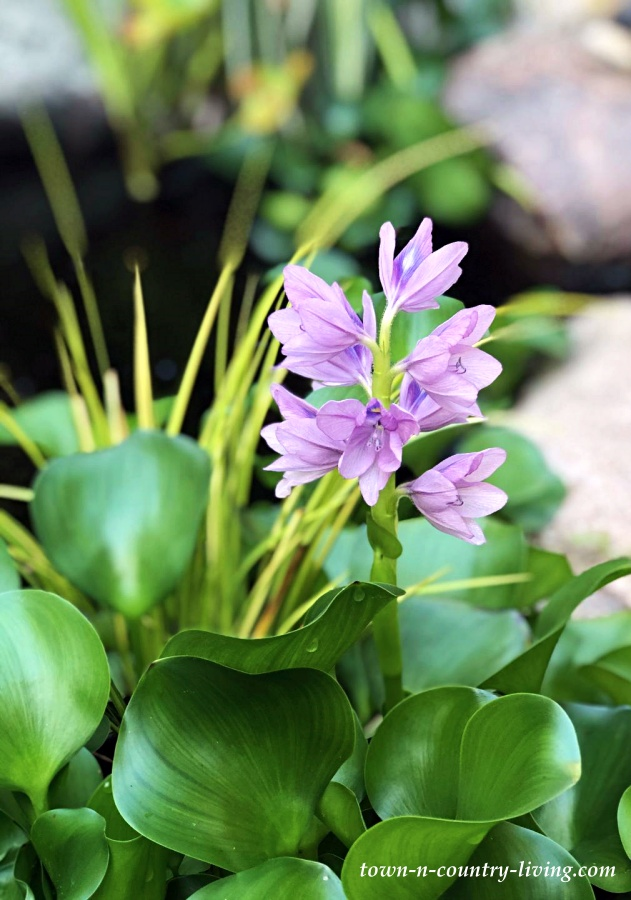 Water Hyacinth Bloom in a Garden Pond