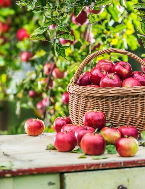 Fresh ripe red apples in wooden basket on garden table.
